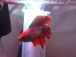 Daughter's Fish Tree Double Tail Betta (Click for Bigger Image)
