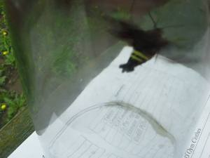 Also, a bug no one in our family ever saw before invaded our home. This was prior to me releasing it. Some research later revealed it was a bumble bee hawk moth.